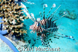 Lion Fish Stalking by Karl Marchant