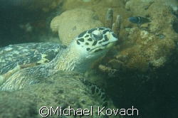 Turtle in reef close to beach at Lauderdale by the Sea by Michael Kovach