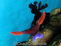 One mean Nudibranch...Olé!