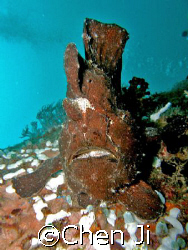 just another frogfish on the wreck. by Chen Ji