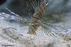Lionfish, Kadavu - Fiji.   by Hayley Whitten