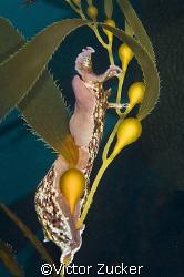 california kelp slug by Victor Zucker