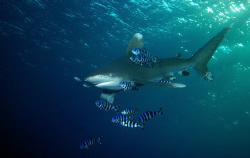 Oceanic white tip at the Brothers, Egypt. by Dray Van Beeck