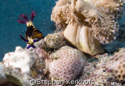 Red Sea Nembrotha -Nembrotha megalocera- taken in Marsa B... by Stephan Kerkhofs