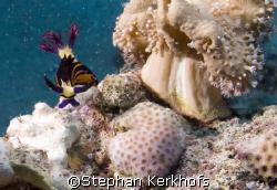 Red Sea Nembrotha -Nembrotha megalocera- taken in Marsa B... by Stephan Kerkhofs