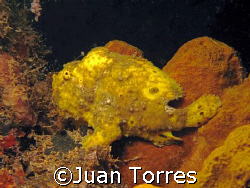 Frog fish at Crash Boats Piers in Aguadilla, Puerto Rico. by Juan Torres