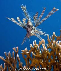Lionfish - pterois miles - taken at Ras-Umm-Sid, Sharm el... by Stephan Kerkhofs