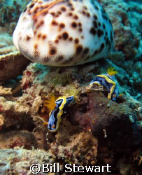 """Meet by the Cowrie Shell""   Two nudibranch's near a Cowr... by Bill Stewart"