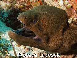 Giant Moray -0 Maldives, Olympus E 330 and epoque strobes by Steve Laycock