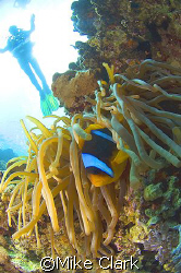 CFWA Clownfish and anemone, whith diver in background.
