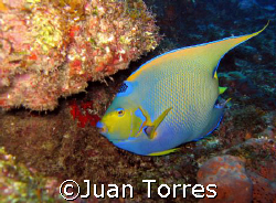 Hail to the Queen!!  A Queen Angelfish swimming by in Mon... by Juan Torres