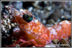Black eyed shrimp close up 350D/70mm + UCL by Yves Antoniazzo
