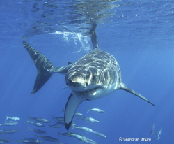 White Shark taken off Guadelupe Island, an outstanding lo... by Maria Munn