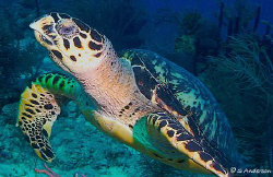 This photo of a turtle was taken off Nassau this past Aug... by Steven Anderson