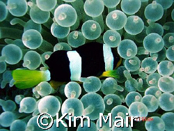 Clarkes Nemo in Bubble Anenome, Meemu Atoll, Maldives.  by Kim Mair