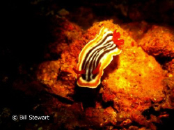 Nudibranch found at a depth of 90 feet while diving on th... by Bill Stewart