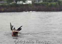Hawaiian Monk Seal eating an actopus by Michelle Tinsay