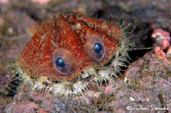 The rare Devil fangshell, catpured one night in the deep ... by Christian Skauge