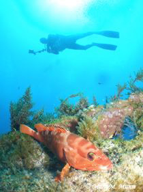Image of a Rock Cod taken at The Tug in Mauritius.  This ... by Maria Munn
