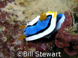 Nudibranch taken during a dive at Tubla Point Reef, Moalb... by Bill Stewart