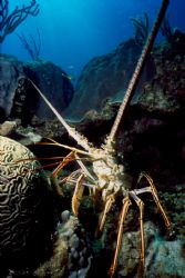 Taken during liveaboard in the Bahamas.   This lobster se... by Ian Brooks
