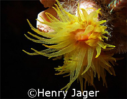 Gracile Cup Coral; Olympus E330; Macro lens 50mm; f/8; 1/100 by Henry Jager