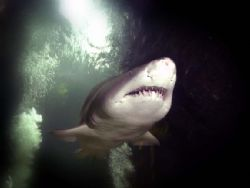 Smile for the camera!.........Sand Tiger shark taken on h... by Steve Baillie