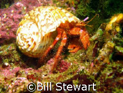 Hermit Crab taken while diving an off-shore reef at Hayam... by Bill Stewart
