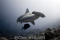 Scalloped Hammerhead, Cocos Dec 2007. At last I'm Back i... by Chris Wildblood