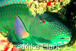 Parrot fish Nikon f90x with 60mm lens by Mike Clark