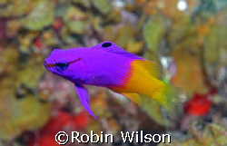 Fairy Basslet by Robin Wilson