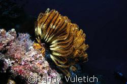 "OLY50 50 50     "" Cod Hole ""  Coral Sea,Australia by Randy Vuletich"