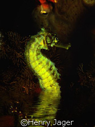 During night, a few species of seahorses prefer to breath... by Henry Jager