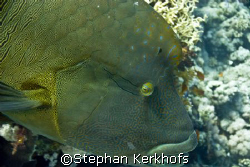 Napoleon wrasse -Cheilinus undulatus- taken at Shark & Yo... by Stephan Kerkhofs