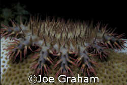 Crown of Thorns. Taken in the shallow waters near Marsa A... by Joe Graham