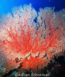 F-A-N-tastic coral from Sipadan - Olympus E-330 by Adrian Schokman