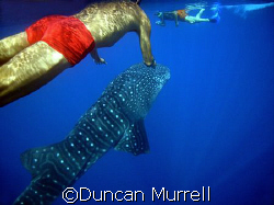 Snorkellers with surfacing whale shark, Puerto Princesa B... by Duncan Murrell