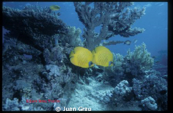 Yellow Butterflyes on the Red Sea by Juan Grau Tascón