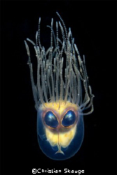 Alien... composition of a Gonionemus murbachii and the ey... by Christian Skauge