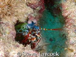 Mantis shrimp in the Maldives. Olympus e 330 and epoque s... by Steve Laycock