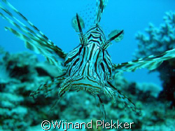 Lion Fish of the coast of Mombassa by Wijnand Plekker