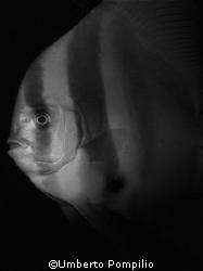 Pipistrello notturno by Umberto Pompilio