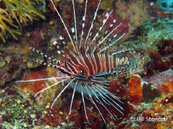 """Juvenile Spotfin Lionfish""   Taken on White House Reef, ... by Bill Stewart"