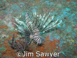 Lion fish on the U-352 off north Carolina Coast, Moorehea... by Jim Sawyer