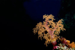 A lone soft coral waits for the current at night. by Andy Lerner
