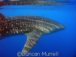 Whale shark, Puerto Princesa Bay, Palawan, the Philippines by Duncan Murrell