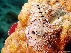 This photo of a pair of Christmas Tree Worms was taken wh... by Steven Anderson