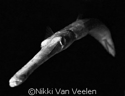 Final entry for 2007. Trumpetfish in B&W.  by Nikki Van Veelen