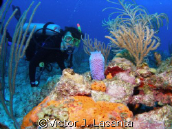 nice view of limary in the steps dive site at parguera w... by Victor J. Lasanta
