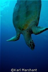 Turtle diving in search of bubble coral lunch! by Karl Marchant